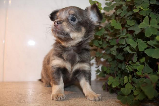 Thoothukudi Dogs For Sale Classifieds Craigslist India