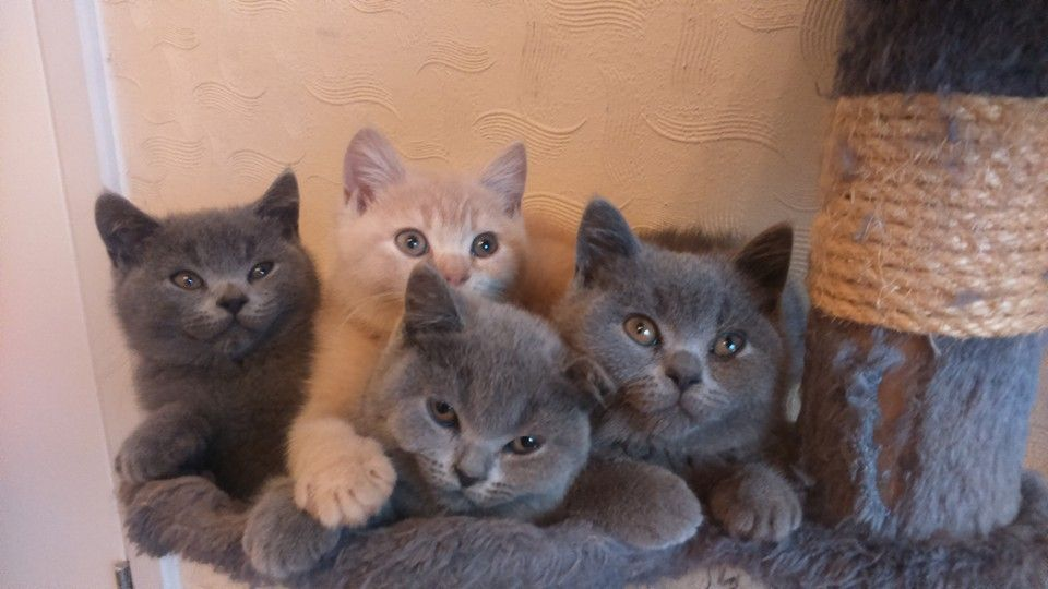 Cats For Sale Adoption in West Unity Ohio Classifieds