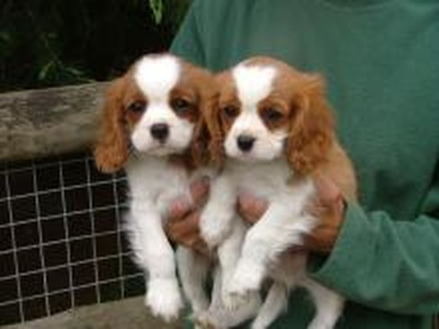 Charles Spaniel For In Fond Cocoa