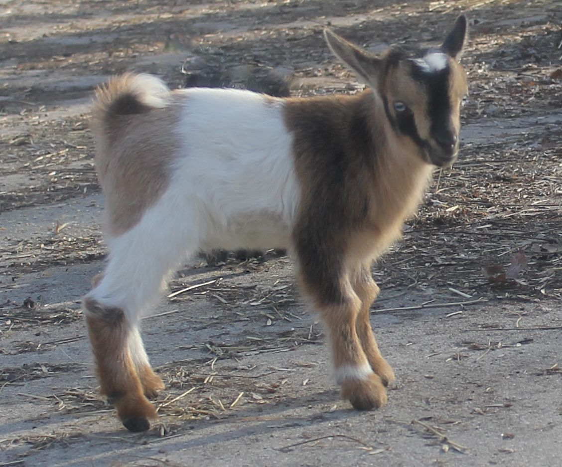 Goat For Sale Adoption in Islamabad Pakistan Classifieds