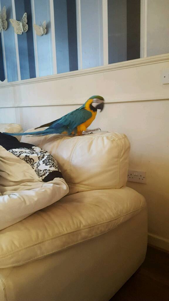 Birds For Sale Adoption in Jaipur India Classifieds