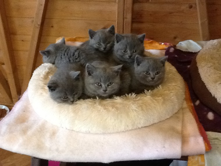 Cats For Sale Adoption in Woodburn Indiana Classifieds