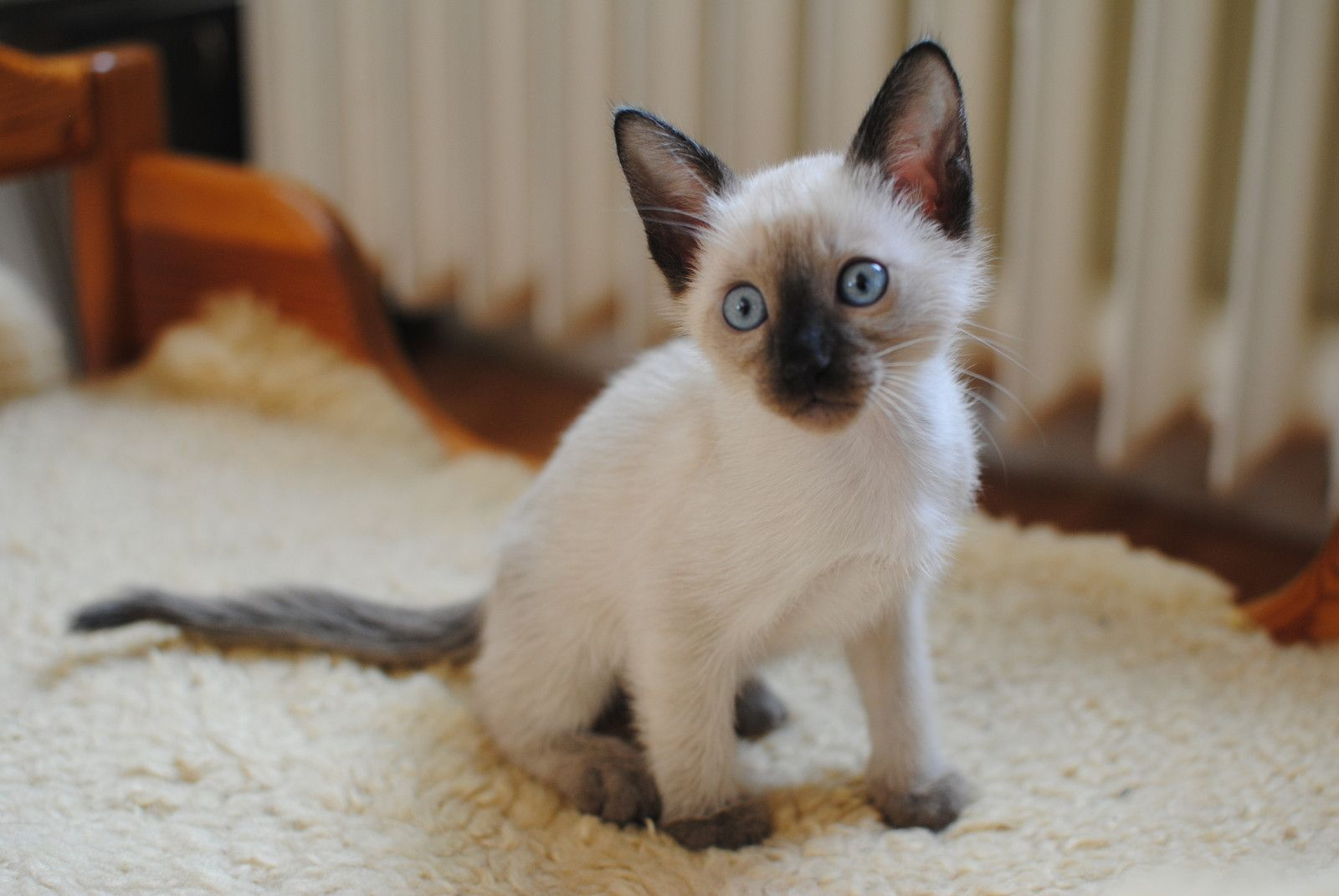 50 Cute Siamese Cat Breeders | Kittens cute wallpapers