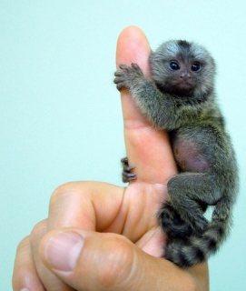 Marmoset Monkey For Sale For Sale in Kasur Pakistan