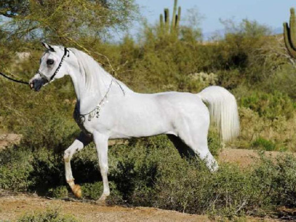 Lahore Horses For Sale in Pakistan Classifieds Free Ads