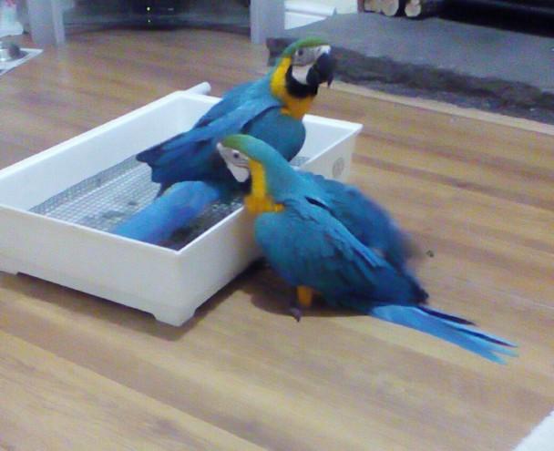 Parrots For Sale in Mozambique