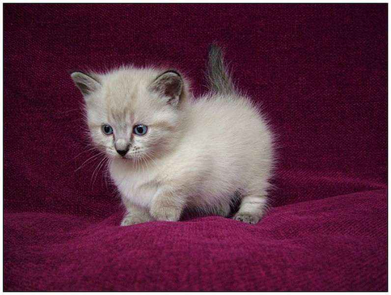 Munchkin Cat For Sale In Delhi