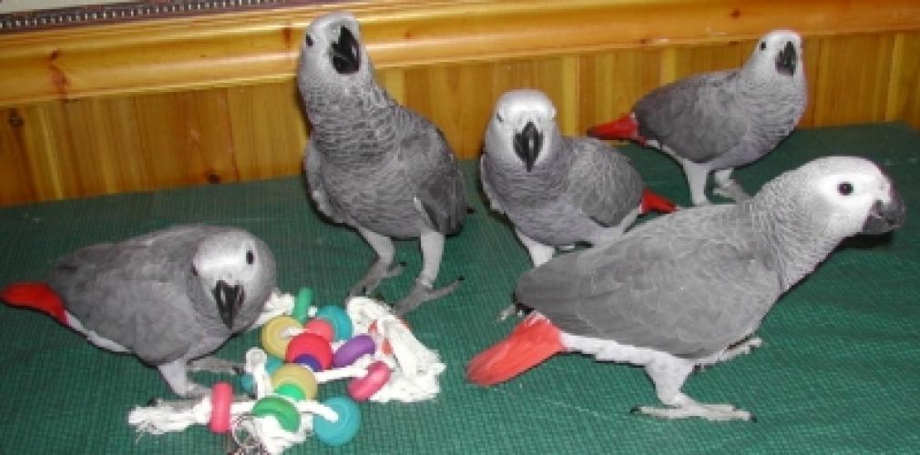 Parrots For Sale Adoption in Zanesville Ohio Classifieds