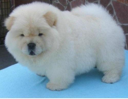 Ashikaga Cute Maltese Puppies For Adopt For Sale In Japan