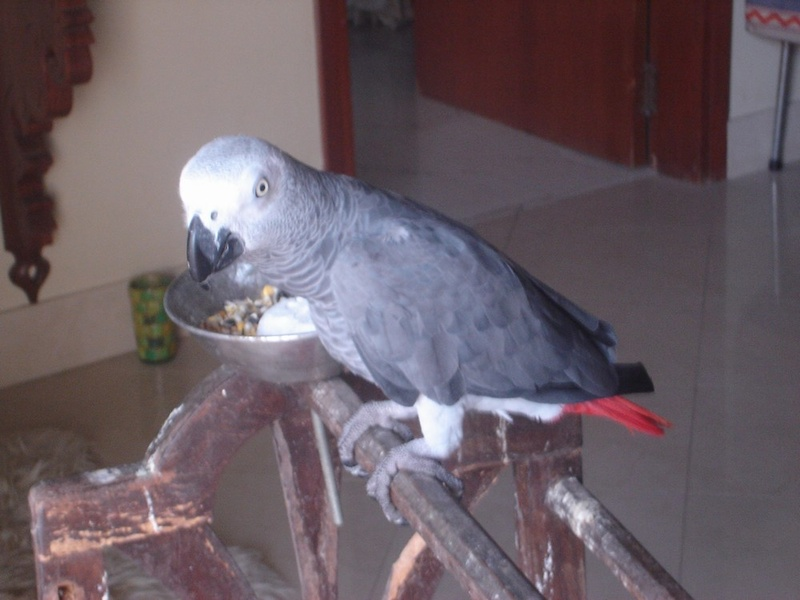 African Grey Congo Parrot Eggs For Sale in Cancun Mexico