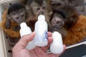 Marmoset Monkey For Sale For Sale in Bannu Pakistan