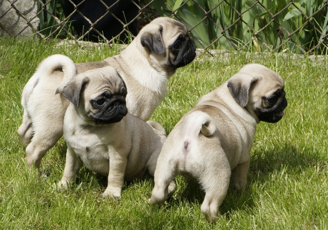 Atomo Dogs For Sale Classifieds Craigslist Nauru Backpage Free Ads