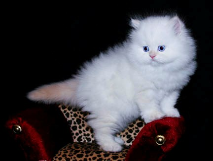 West Unity Cats For Sale Ohio Classifieds