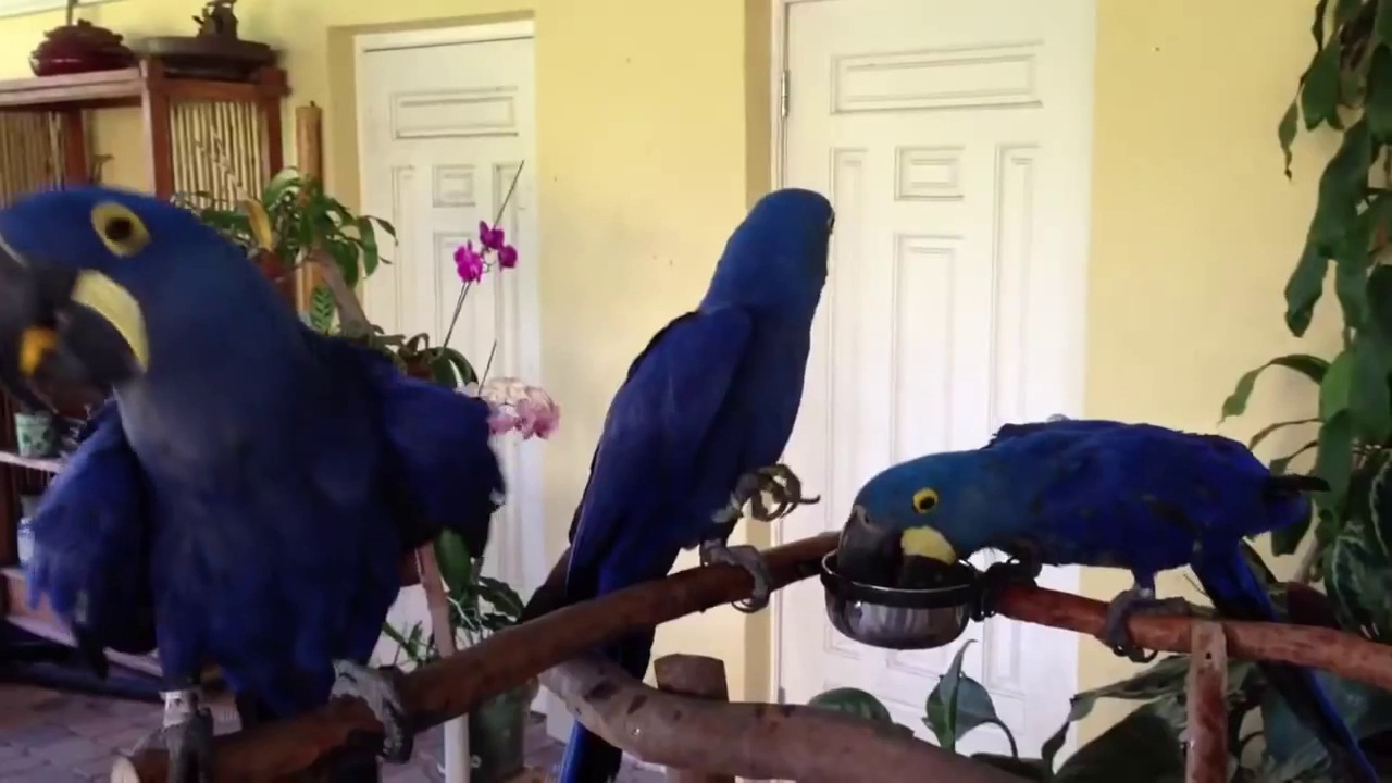 Parrots For Sale Adoption in Cebu Philippines Classifieds