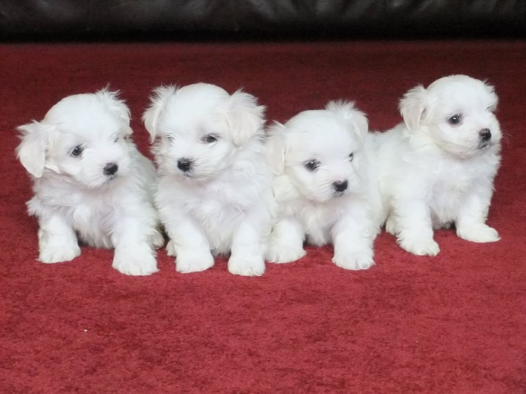 Victoria De Durango Dogs For Sale in Mexico Classifieds Free Ads