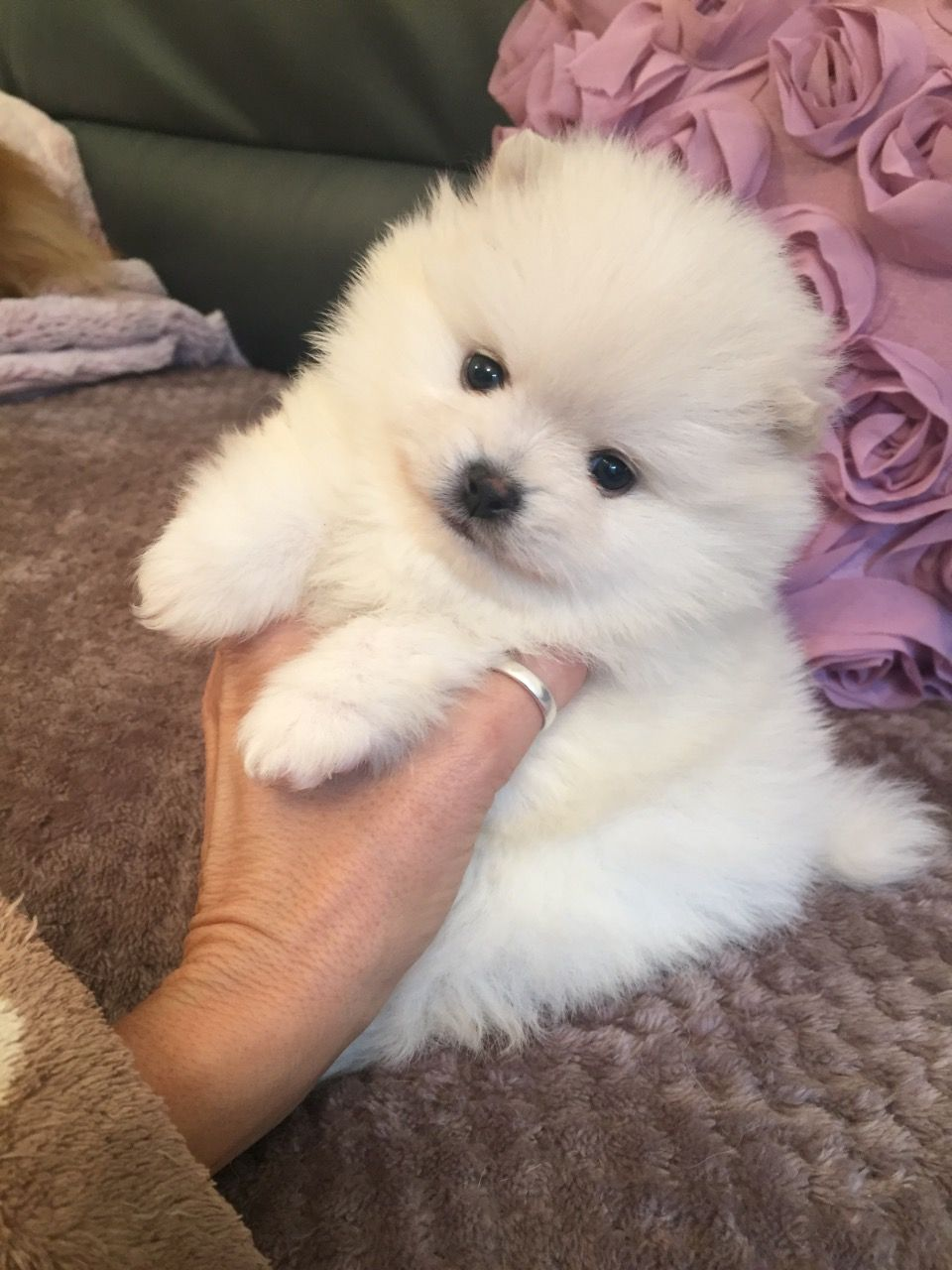 Pomeranian Puppies For Sale For Sale in Karachi Pakistan