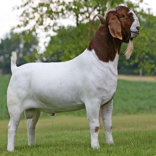 Cows For Sale Adoption in Multan Pakistan Classifieds